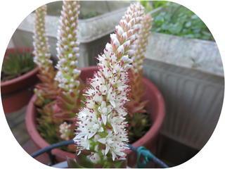 ツメレンゲ花-1.jpg