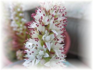 ツメレンゲ花-2.jpg